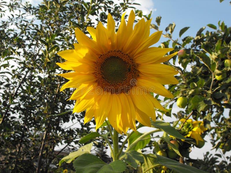 Sonnenblume in einem Apfelgarten mit einer Biene stockfotografie