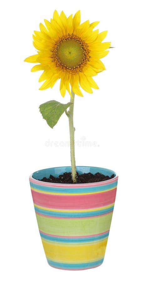 Sonnenblume in einem Potenziometer stockfotografie