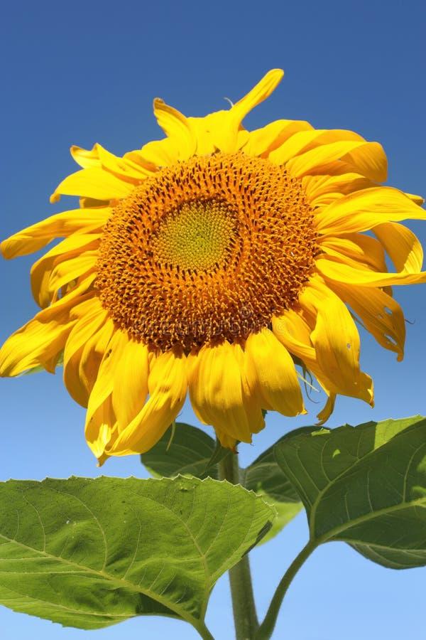 Sonnenblume an einem sonnigen Sommertag lizenzfreie stockfotos