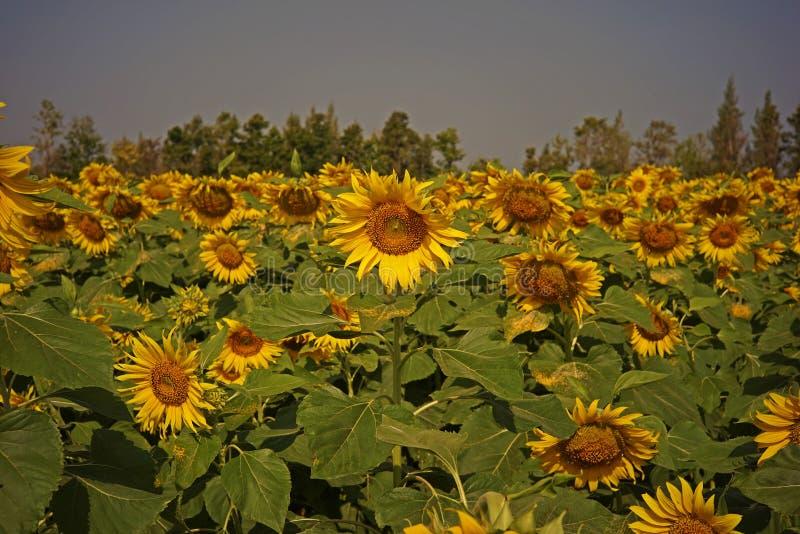 Sonnenblume, für Speiseöl und essbare Samen lizenzfreie stockfotos