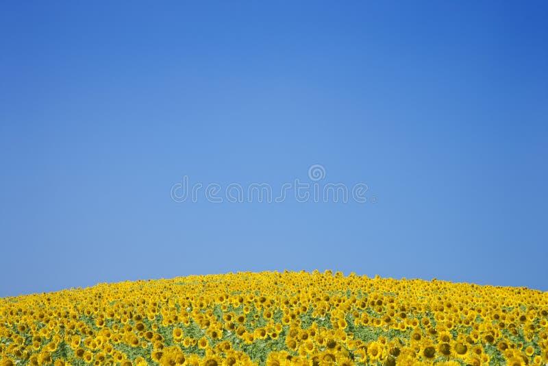 Sonnenblume-Feld lizenzfreie stockfotografie