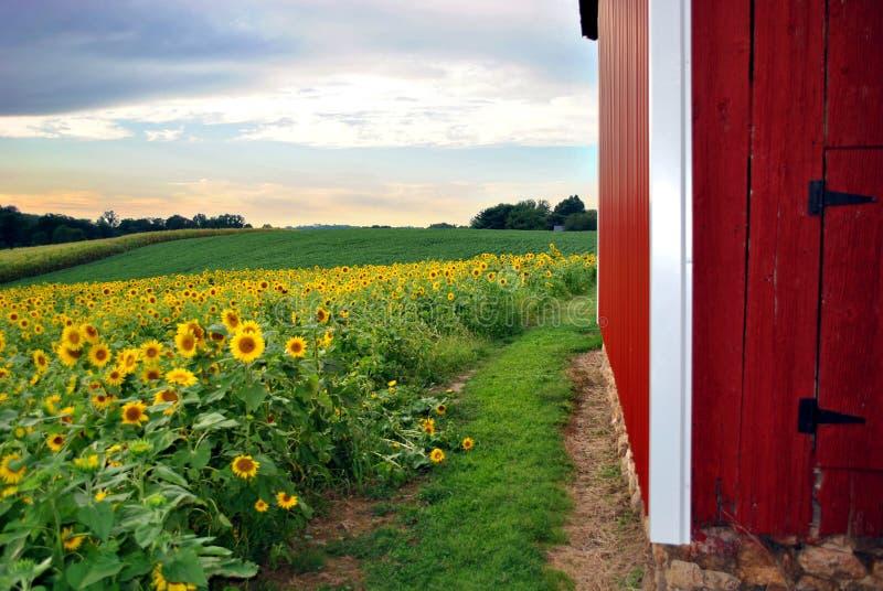 Sonnenblume-Feld u. Stall lizenzfreie stockfotografie