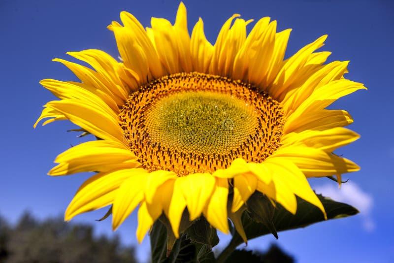 Sonnenblume gegen den Himmel lizenzfreie stockfotos