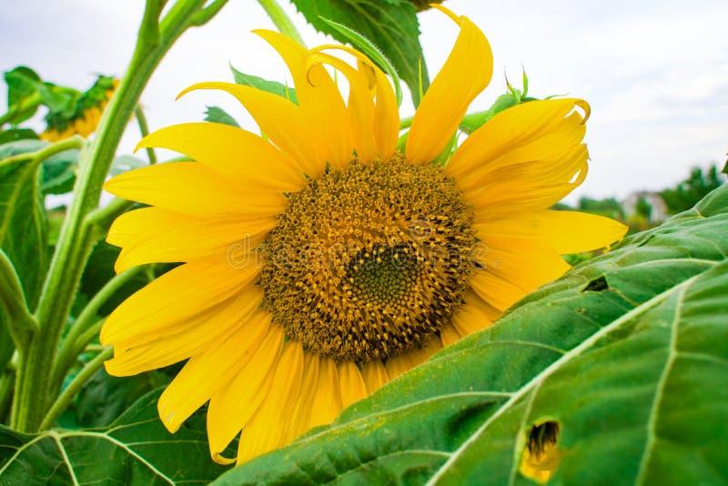 Sonnenblume gegen einen Hintergrund von Vegetationsfeldern und von anderer SU lizenzfreie stockfotos