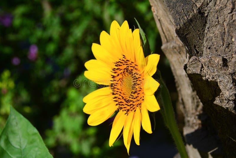 Sonnenblume, gelbe Sonne stockbilder