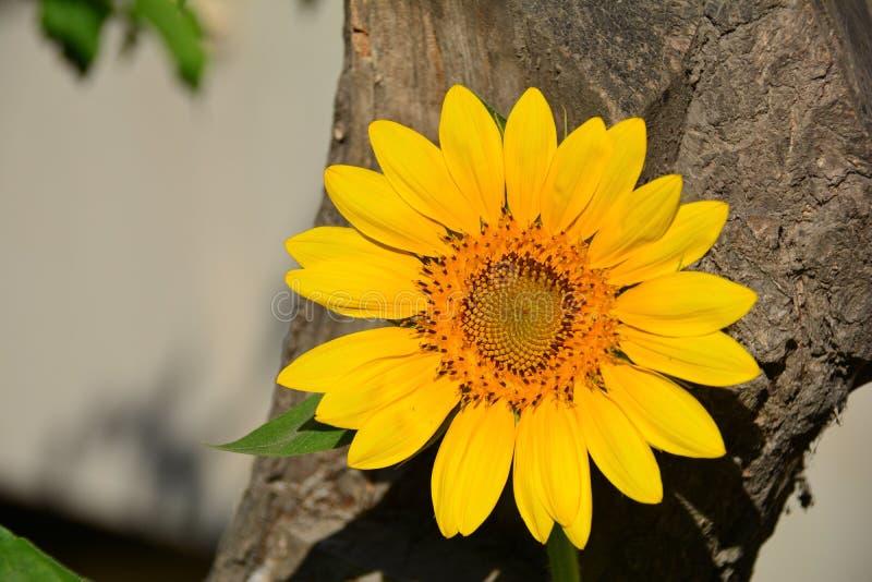 Sonnenblume, gelbe Sonne stockfotos