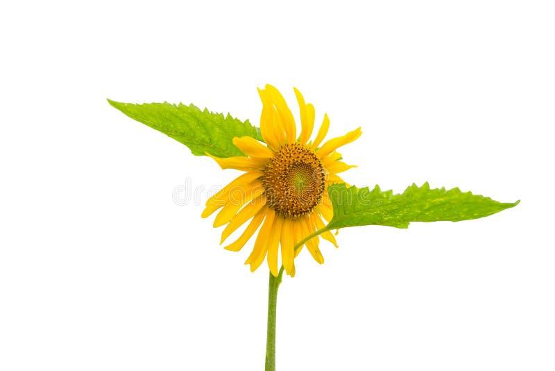 Sonnenblume getrennt auf einem Weiß lizenzfreie stockbilder