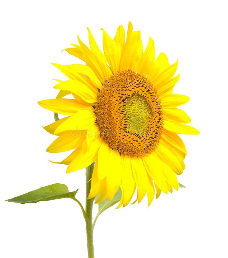 Sonnenblume, getrennt auf Weiß lizenzfreie stockbilder