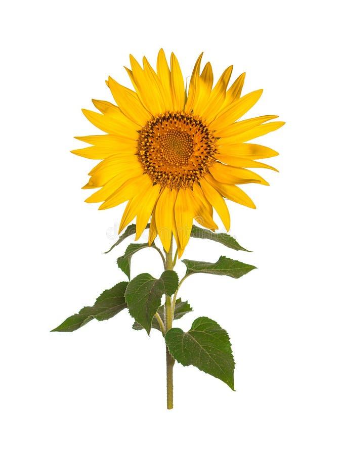 Sonnenblume getrennt auf white stockfotos