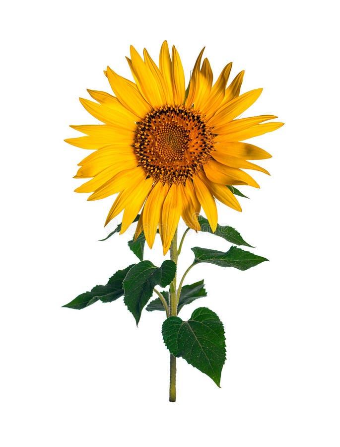 Sonnenblume getrennt auf white stockfotografie