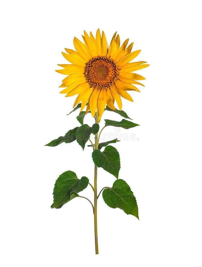 Sonnenblume getrennt auf white lizenzfreies stockbild