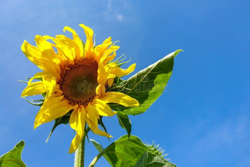 Sonnenblume, Helianthus Annuus mit den hellen gelben Blumenblättern, grüne Blätter gegen blauen Himmel am Sommertag lizenzfreies stockfoto