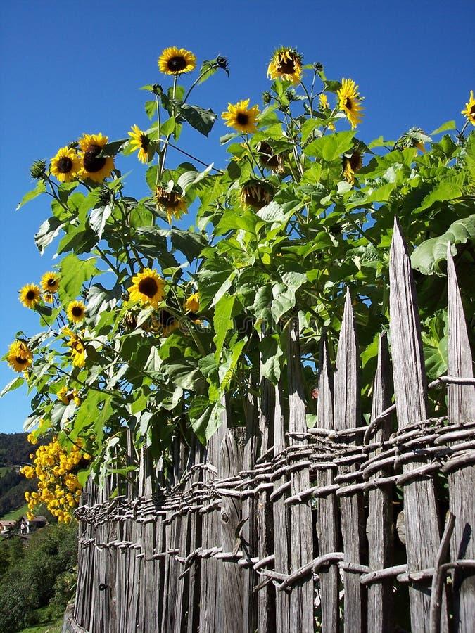 Sonnenblume hinter einem hölzernen Zaun stockbilder