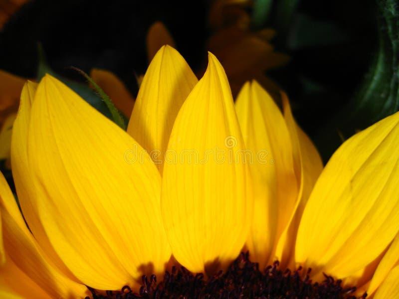 Sonnenblume I stockfoto