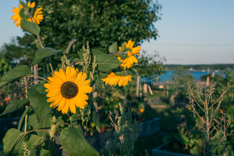 Sonnenblume im Garten lizenzfreies stockfoto