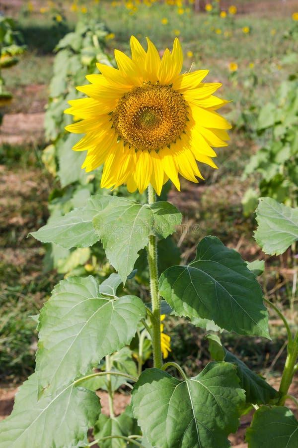 Sonnenblume im Garten lizenzfreie stockbilder