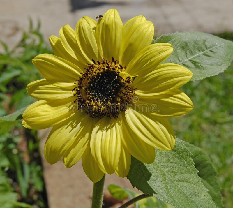 Sonnenblume im Garten lizenzfreie stockfotografie