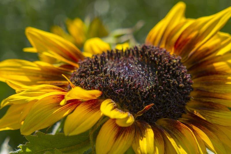 Sonnenblume im Garten Helianthus lizenzfreie stockfotografie