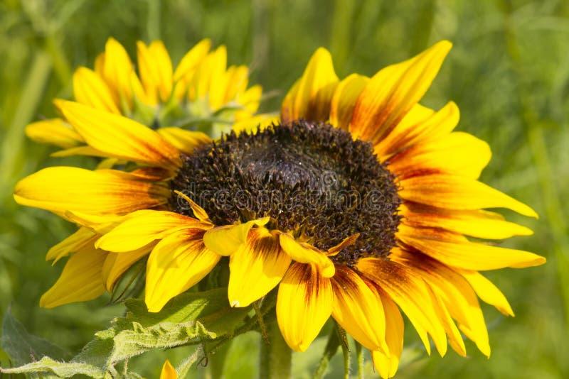 Sonnenblume im Garten Helianthus lizenzfreie stockbilder