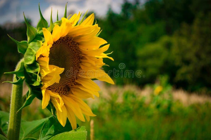 Sonnenblume im Makro mit bokeh stockfoto