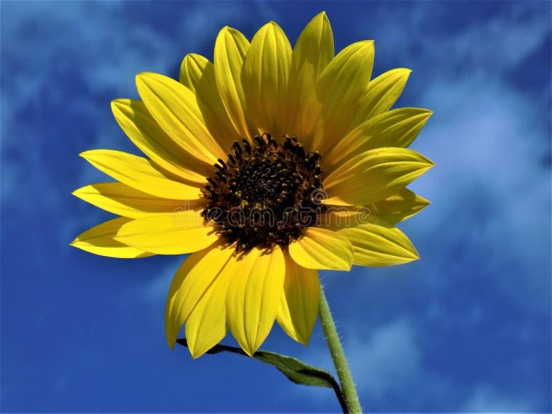 Sonnenblume im Sommer-Himmel stockbilder