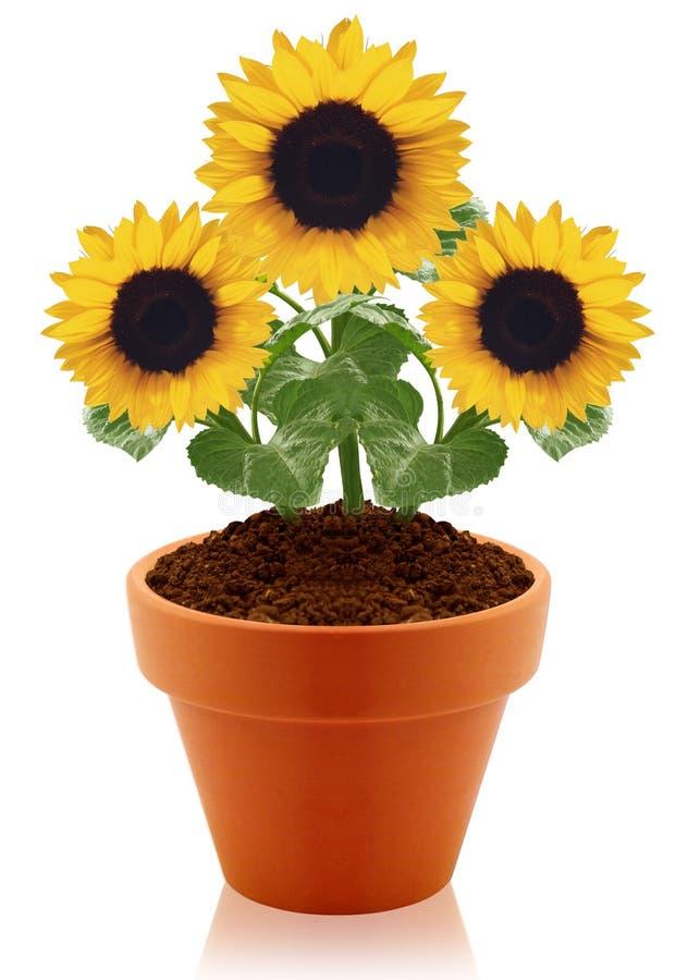 Sonnenblume im Tongefäß stockfotografie