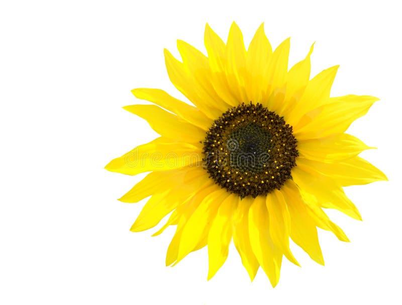 Sonnenblume lokalisiert lizenzfreie stockfotografie