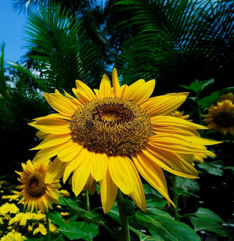 Sonnenblume mit Biene stockfotografie