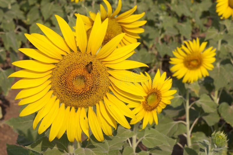 Sonnenblume mit Biene lizenzfreie stockfotografie