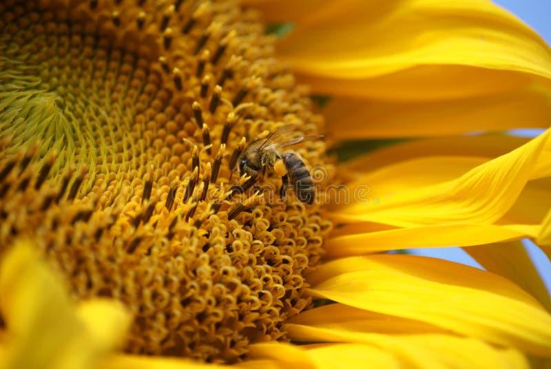 Sonnenblume mit Biene und Schmetterling lizenzfreie stockbilder
