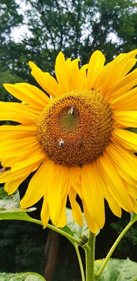 Sonnenblume mit Bienen lizenzfreie stockfotos