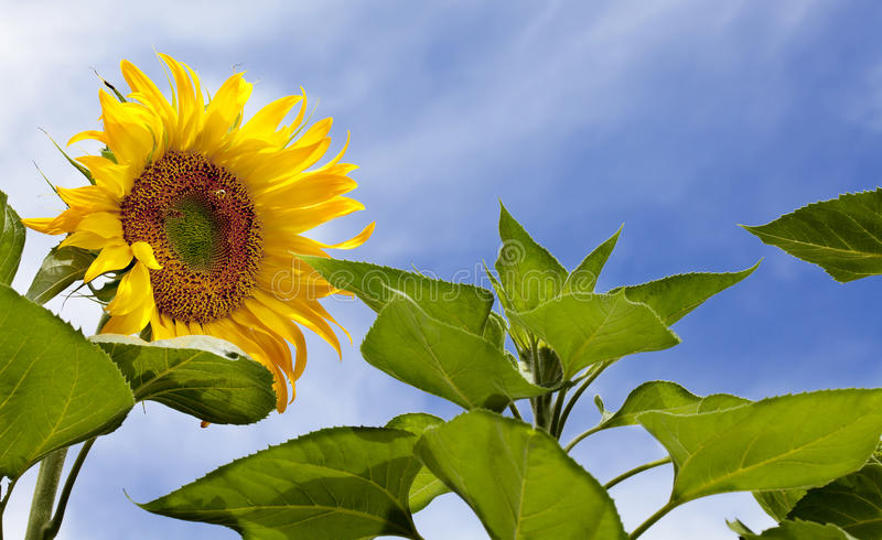 Sonnenblume mit Bienen stockbilder