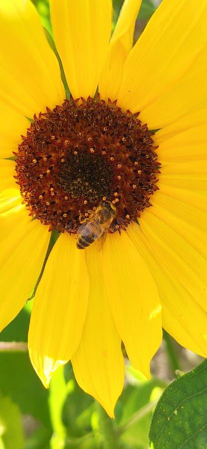 Sonnenblume mit Bienensucht nach Nektarblume lizenzfreie stockfotos