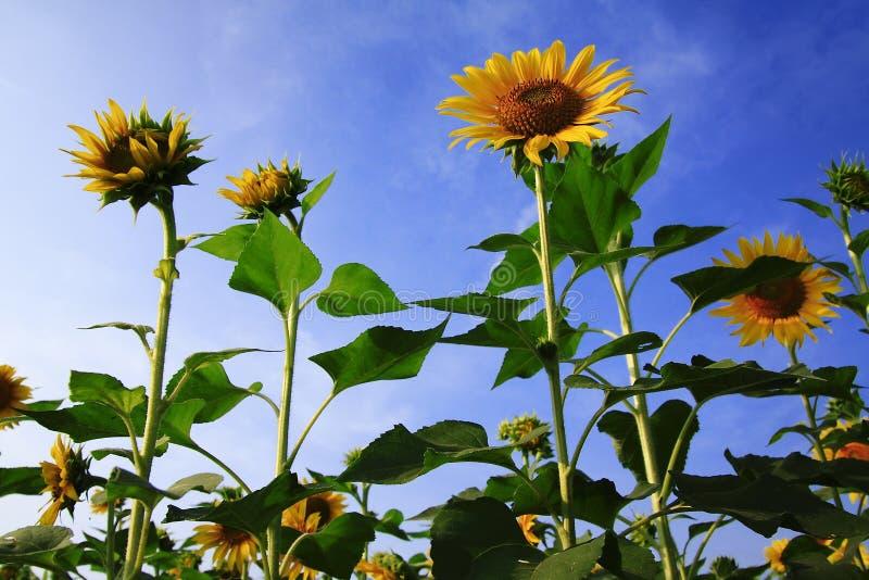 Sonnenblume mit blauem Himmel stockbilder