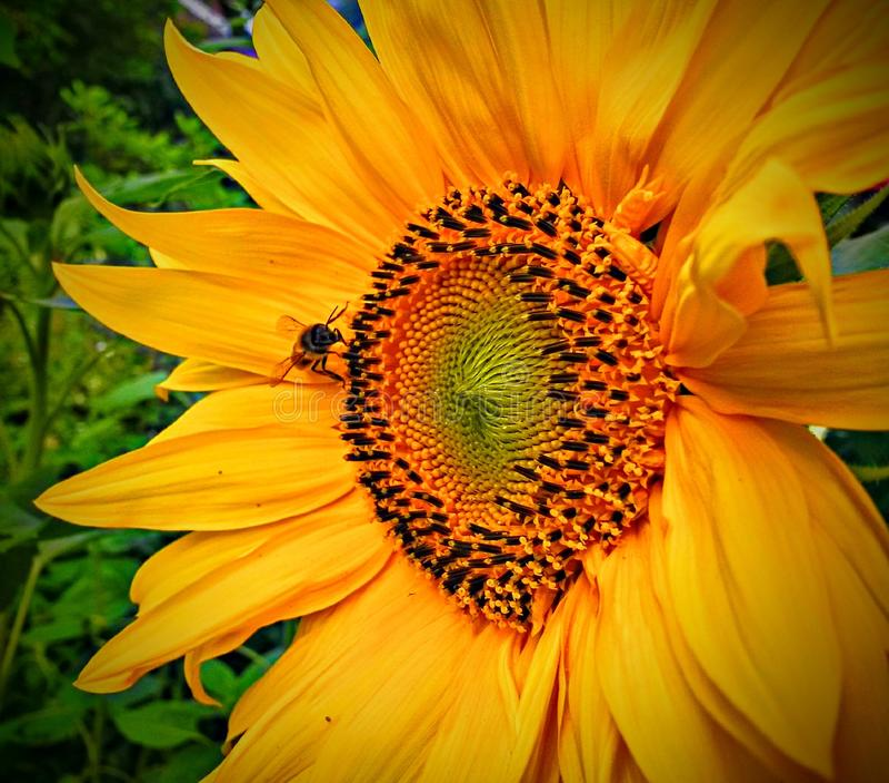 Sonnenblume mit einem Fliegengelb stockfotografie