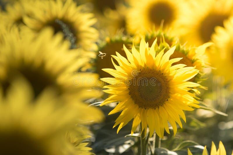 Sonnenblume mit einer Fliegenbiene stockbild