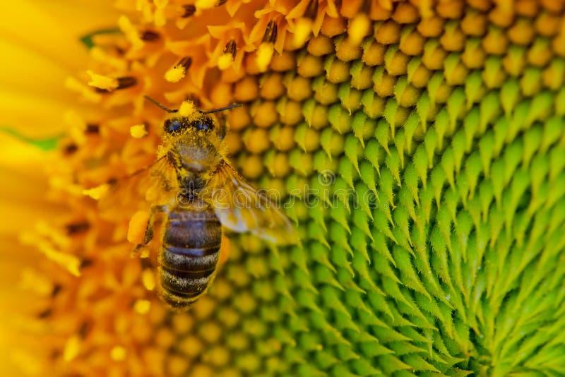 Sonnenblume mit einer Honigbiene lizenzfreie stockbilder