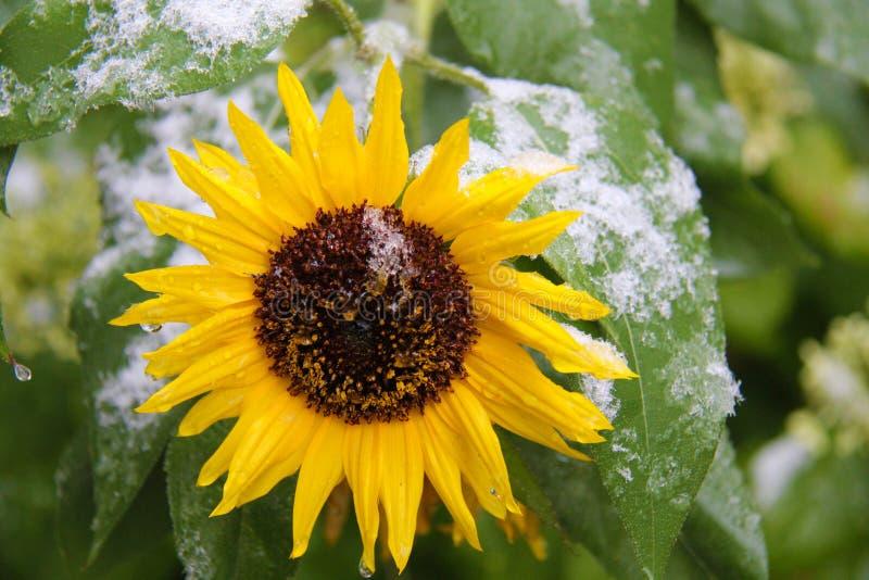 Sonnenblume mit erstem Schnee lizenzfreie stockfotos