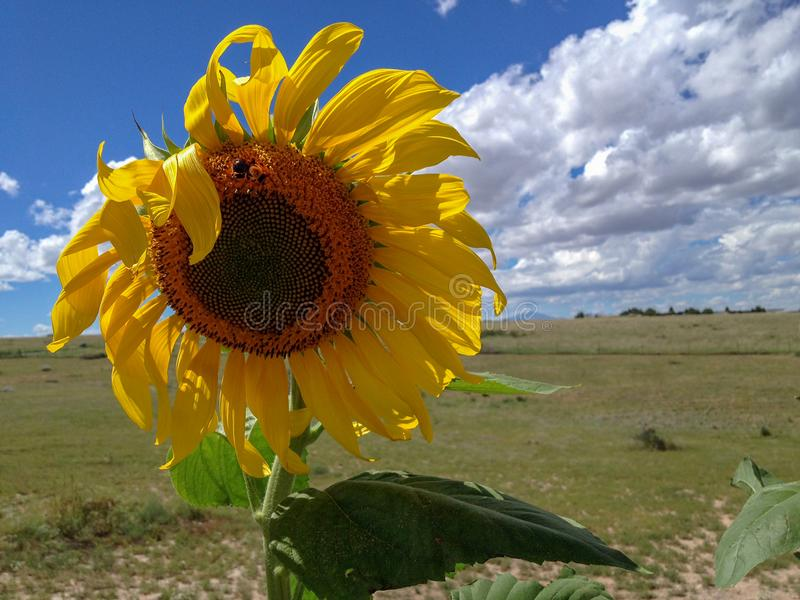 Sonnenblume mit Hummel und blauem Himmel mit Wolken lizenzfreies stockbild