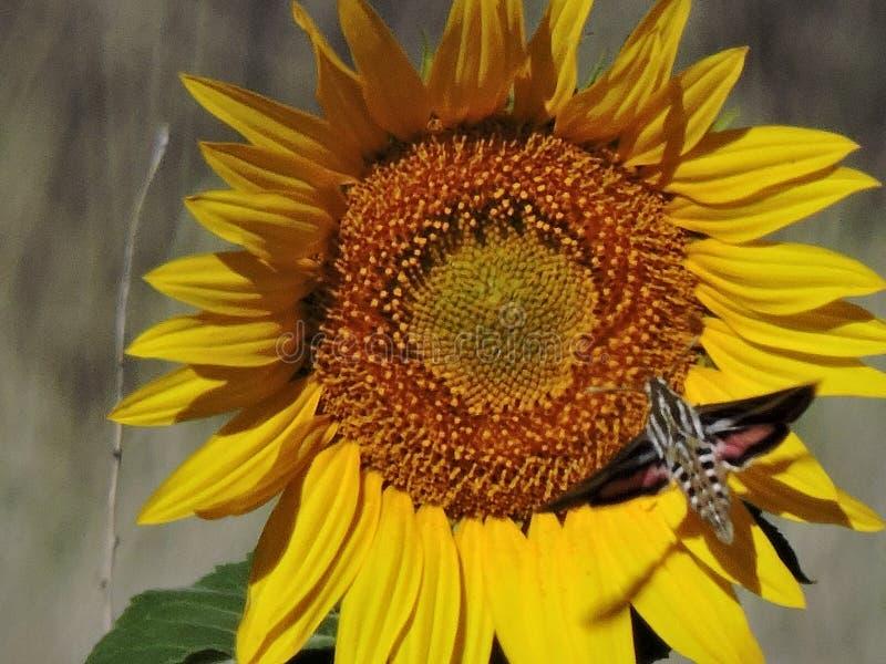 Sonnenblume mit Kolibrimotte stockfotografie