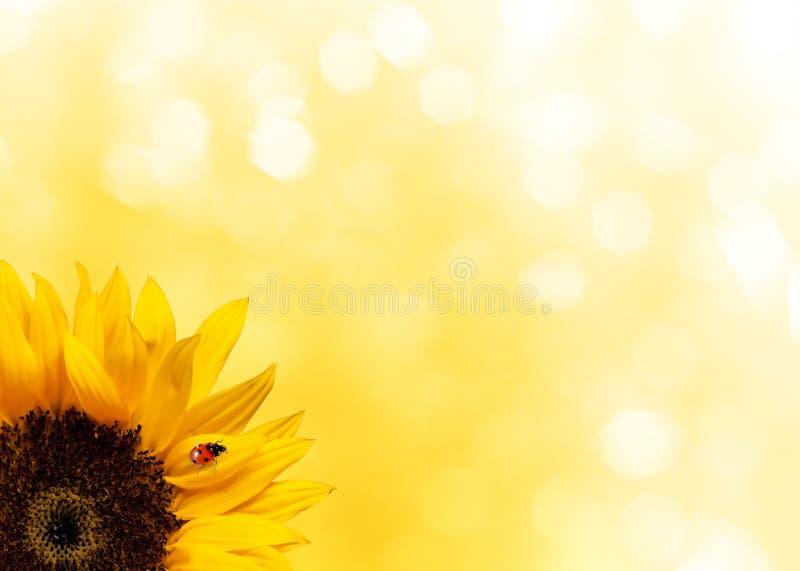 Sonnenblume mit Marienkäfer stockfoto