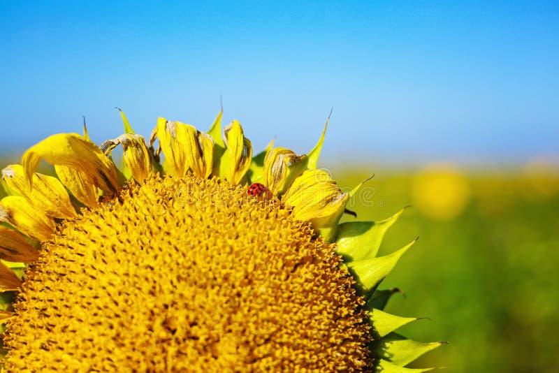 Sonnenblume mit Marienkäfer stockbilder