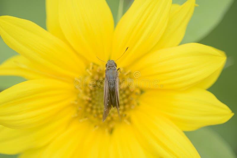 Sonnenblume mit Motte lizenzfreies stockbild
