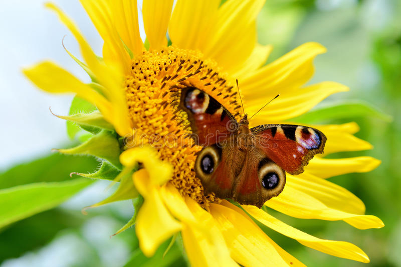 Sonnenblume mit Schmetterling stockbilder