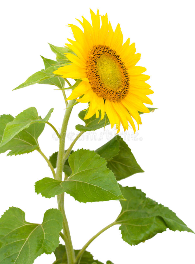 Sonnenblume mit Tropfen des Wassers lizenzfreie stockbilder