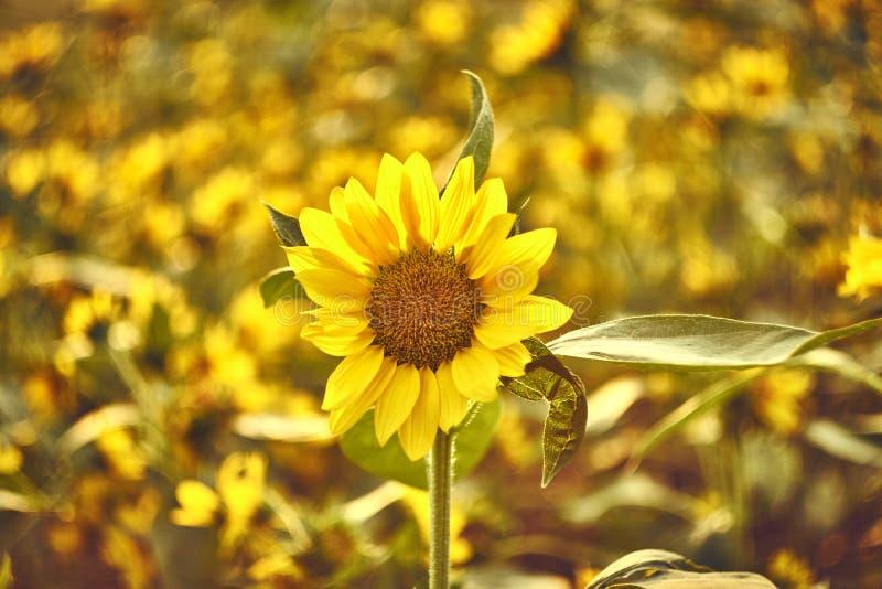 Sonnenblume mit Unsch?rfesonnenblumenfeld im Hintergrund stockfotografie