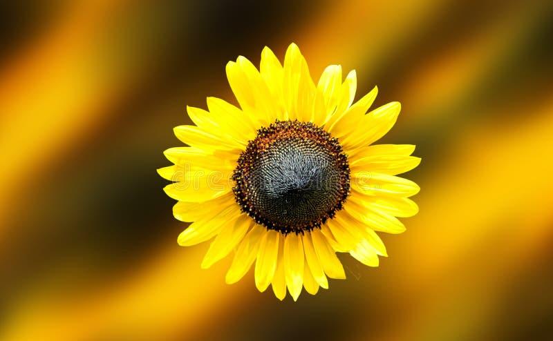 Sonnenblume mitten in dem Rahmen lizenzfreies stockfoto