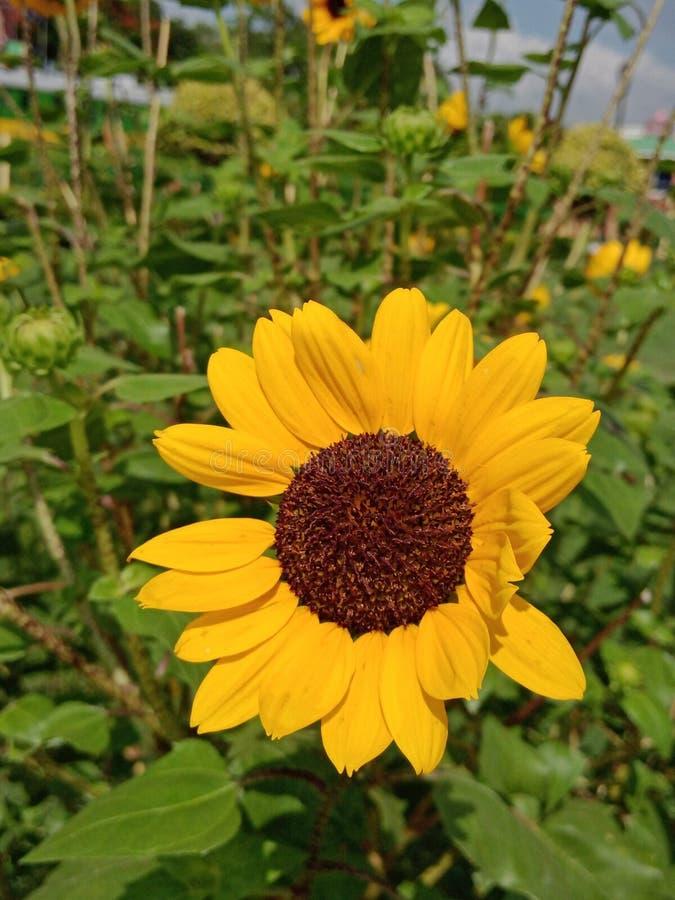 Sonnenblume morgens stockfoto