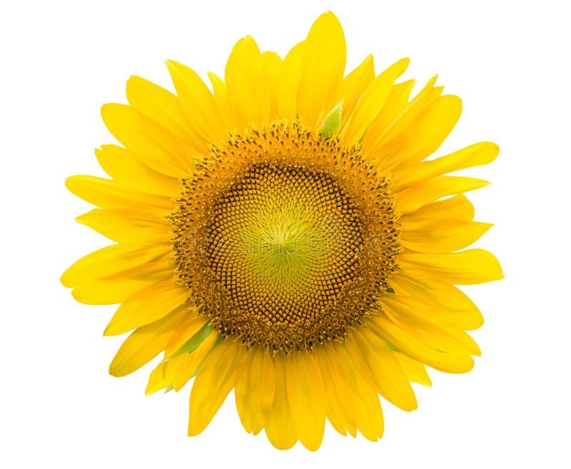 Sonnenblume nach innen lokalisiert auf weißem Beschneidungspfad stockfotos