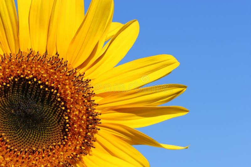 Sonnenblume-Schönheit stockbilder